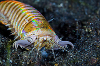 bobbit worm, Eunice aphroditois, crawling out of its sandy lair, hunting for a prey at night, Lembeh Strait, North Sulawesi, Indonesia, Pacific Ocean