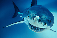great white shark, Carcharodon carcharias, Australia, Pacific Ocean
