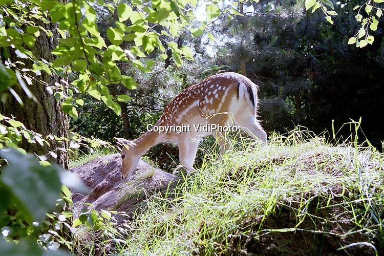 Foto: VidiPhoto..AMERICA - Bungalowpark Het Meerdal (Center Parcs) in America is internationaal gecertificeerd vanwege de natuurwaarden op het park. Behalve dat er zich een enorme diversiteit aan bomen, planten en struiken op het park bevindt, lopen er ook zes damherten los door het park en tussen de bungalows door. De dieren krijgen geen jongen omdat de bokken zijn weggehaald. Daarmee wil het park voorkomen dat moederdieren zich agressief gaan gedragen tegen nieuwsgierige gasten, op het moment dat ze bambi's bij zich hebben.