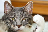 Bertie, a blue tabby and white shorthair cat, glares into the camera while his face is framed by an upheld paw and his body.