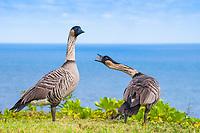 nene, or Hawaiian goose, Branta sandvicensis, endemic species, calling, Pali Ke Kua, Princeville, Kauai, Hawaii, USA