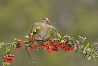 White-winged Dove (Zenaida asiatica), adult eating Firethorn (Pyracantha coccinea)  berries, Hill Country, Texas, USA