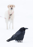 One of my more frequent subjects during winter trips is the Common Raven. They're quite handsome, and are tolerant of the attention they get.