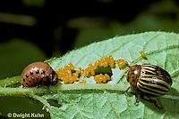 1C28-004z  Colorado Potato Beetle - adult, larva, eggs - Leptinotarsa decemlineata