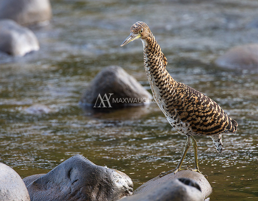 The barred plumage of the Fasciated tiger heron resembles that of juvenile Bare-throated tiger herons.