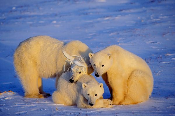Polar bear (Ursus maritimus) sow with two year old cubs.
