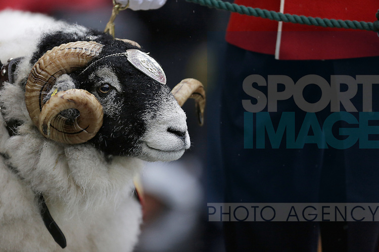 A regimental ram used in the rememberance day celebrations before kick-off - Football - Sky Bet Championship - Derby County vs Wolverhampton Wanderers - iPro Stadium Derby - Season 2014/15 - 8th November 2014 - Photo Malcolm Couzens/Sportimage