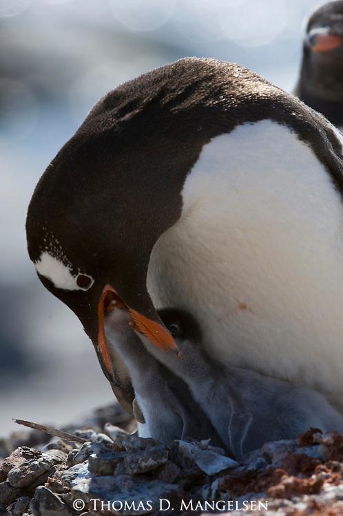 A Gentoo penguin feeds its chicks in Port Lockroy, Antarctica.