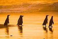 bird, Yellow eyed penguin Maori: hoiho, Megadyptes antipodes, endangered, endemic, Otago Peninsula, New Zealand, South Pacific Ocean