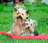 Marek, ANIMALS, REALISTISCHE TIERE, ANIMALES REALISTICOS, dogs, photos+++++,PLMP3251,#a#, EVERYDAY