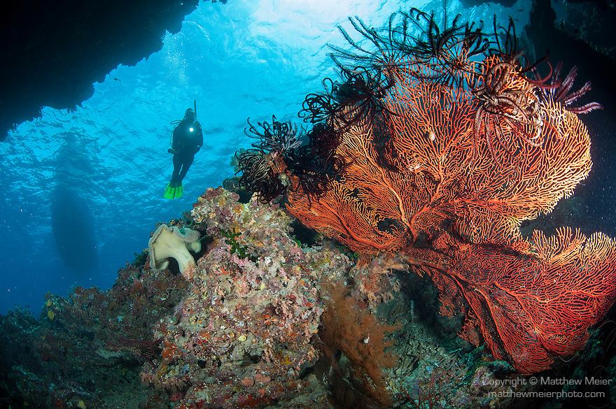 Bligh Waters, Rakiraki, Viti Levu, Fiji; a scuba diver and a dive boat float above a large, red gorgonian sea fan, with several feather stars around its edge, attached to the wall of a sea cave
