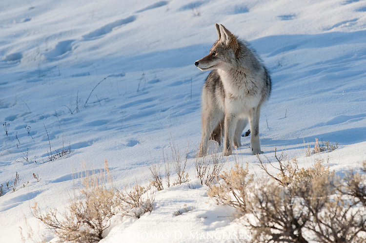 A coyote pauses in the snow for a look at its surroundings in Yellowstone National Park, Wyoming.