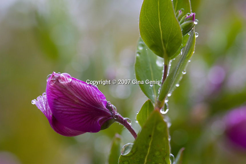 Budding purple flower with raindrops