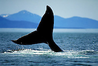 Humpback whale's tail (fluke) rises above the water as the whale prepares to dive (sound) in the ocean waters surrounding the Tongass National Forest in Southeast Alaska. Alaska, Southeast Alaska.