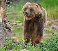 Large Old grizzly Bear walking toward camera