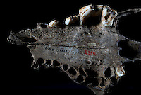 Belgium. Brussels. London. 17th November 2015<br /> A dog skull believed to be 36,000 years old at the Royal Belgian Institute of Natural Sciences.<br /> Andrew Testa for the New York Times