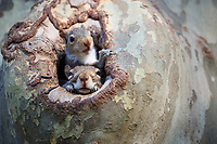 Eastern Gray Squirrel (Sciurus carolinensis), pups in a nest in a tree in New York City's Central Park.