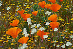 FB-S186  California Poppies