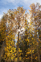 Like sentries on duty, tall aspen, dressed in fall's gold, stand along the road, Highway 50, watching those of us climbing Monarch Pass, searching for autumn colors.