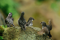 506760351 four wild least auklets aethia pusilla perch on a large rock above a cliff face on saint george in the pribilof islands in southeast alaska