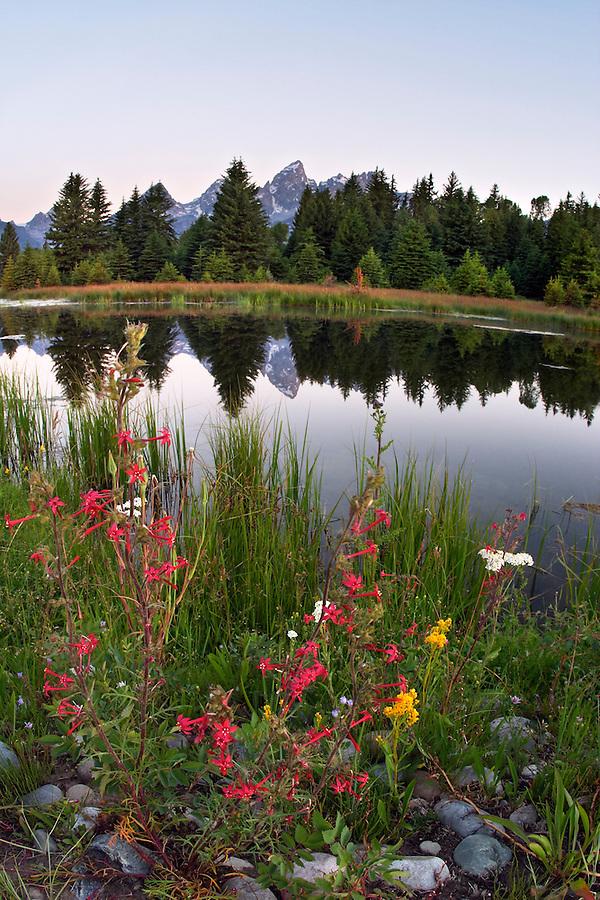 Wildflowers along backwaters of Snake River at dawn, Schwabacher Landing, Grand Teton National Park, Teton County, Wyoming, USA