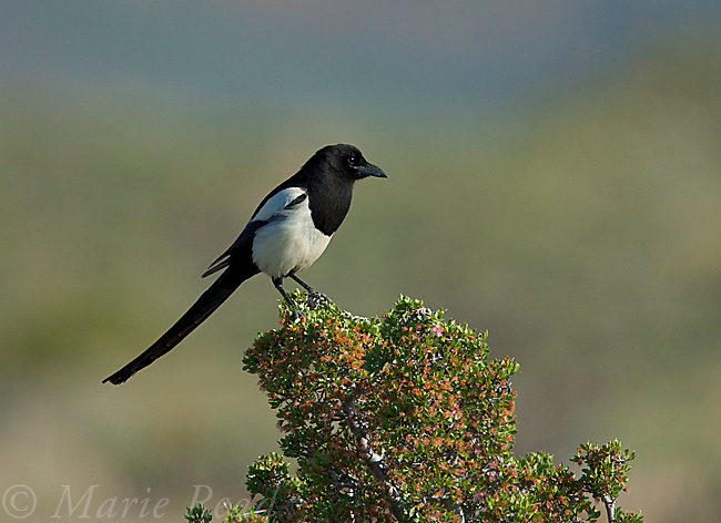 Black-billed Magpie (Pica hudsonia), Mono Lake Basin, California, USA