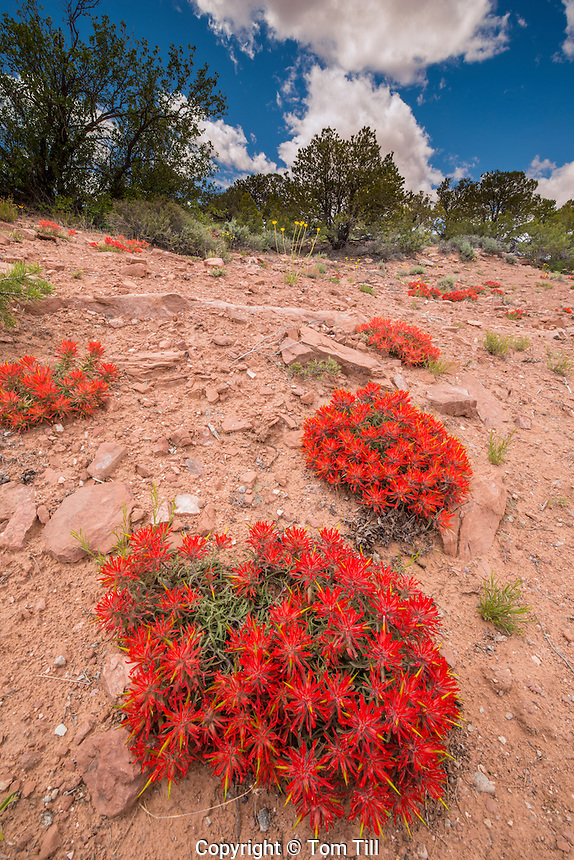 Indian Paintbrush and clouds, Sand Flats Recreation Area near Moab, Utah   Castilleja chromosa