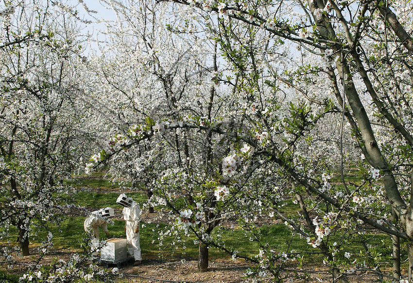 An apiculturist has installed his beehives among almond trees, disseminating them in the orchard so as to obtain maximum pollination. The aim is to obtain a lot of almonds. The optimal pollination period of fruit trees is very short, two or three days only for almond trees.