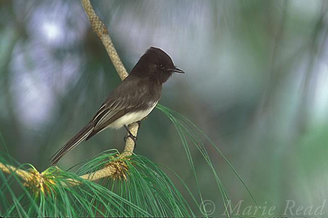 Black Phoebe (Sayornis nigricans), Irvine, California, USA