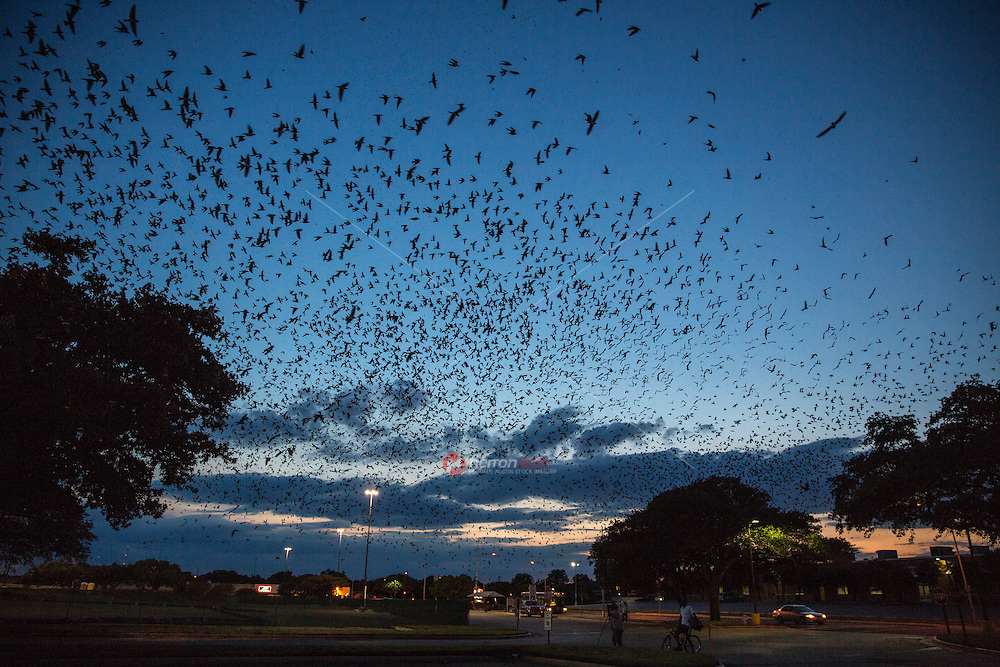 Purple martins blacken sky over Highland Mall as they roost during the summer in Austin, Texas before heading to South America for winter.