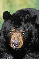 Adult male black bear (Ursus americanus), North America.
