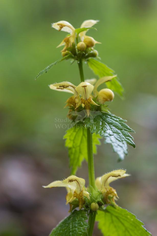 Gele dovenetel (Lamiastrum galeobdolon)