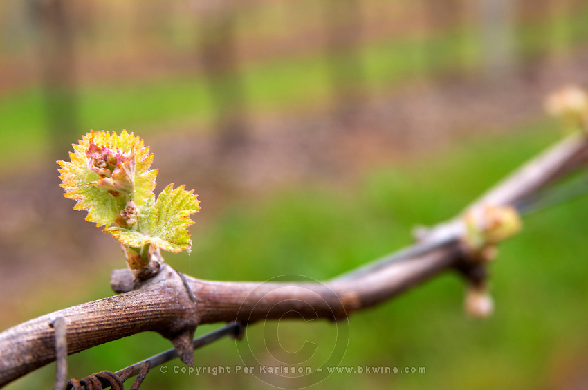A vine with a young shoot with a small leaf starting to grow in spring. Bodega Vinos Finos H Stagnari Winery, La Puebla, La Paz, Canelones, Montevideo, Uruguay, South America