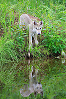 Gray wolf (Canis lupus), young animal on embankment by water, with reflection, Pine County, Minnesota, USA, North America