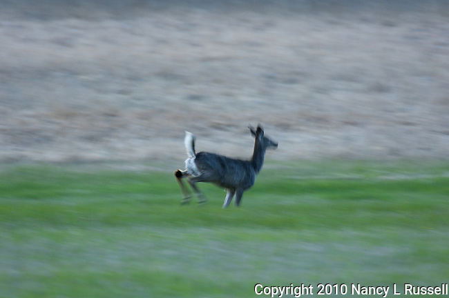 Deer running in the field with tail held high as a warning to others