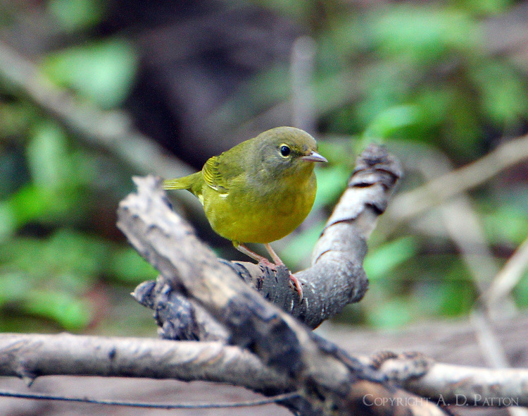 Juvenile mourning warbler in fall migration