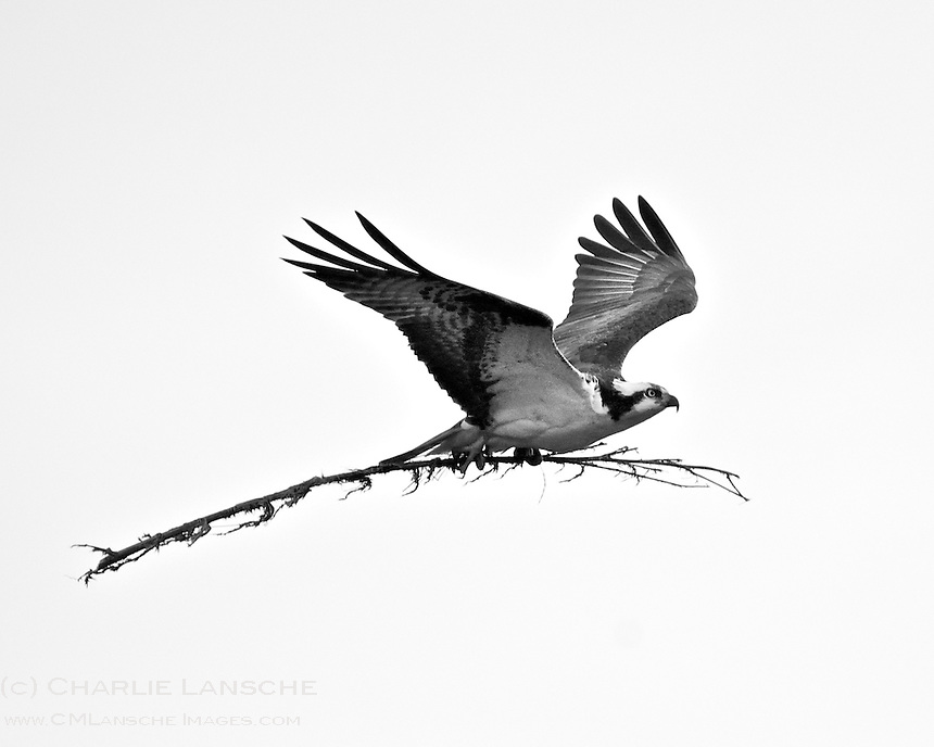This Osprey flies building materials back to the nest.  Summit County, Utah.