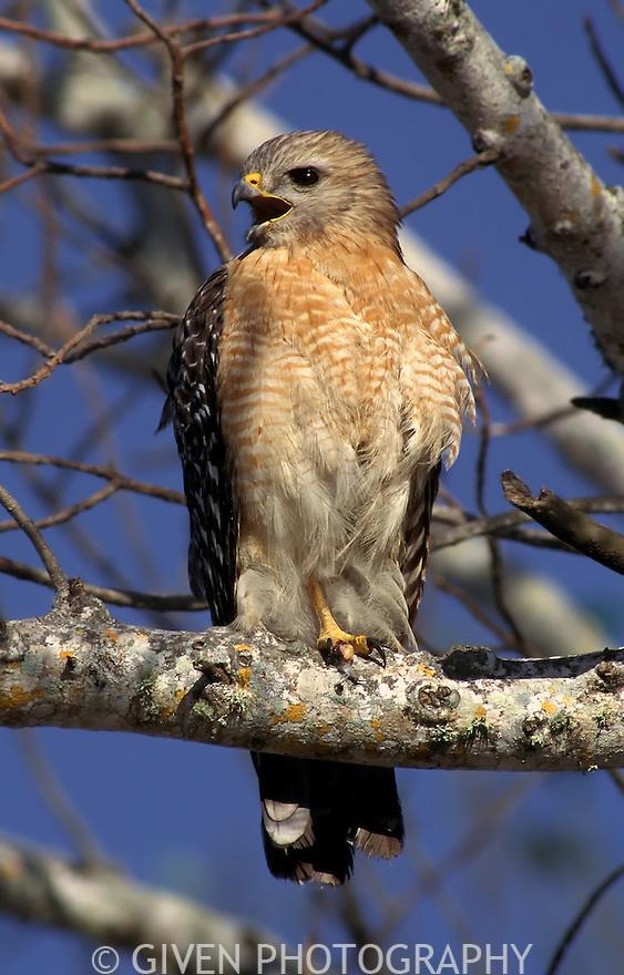 Red-shouldered Hawk calling in Ding Darling National Wildlife Refuge, Florida