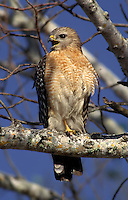 Red-shouldered Hawk calling in Ding Darling National Wildlife Refuge, Florida