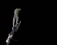 We had great encounters with both the Common and Great potoo in western Brazil.