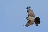 Western Kingbird, San Angelo State Park