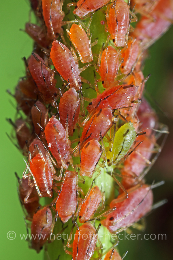 Große Rosenblattlaus, Große Rosen-Blattlaus, Macrosiphum rosae, Macrosiphon rosae , Rose aphid