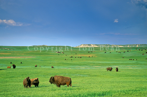 Bison herd on green prairie on the 777 Ranch, near Fairburn, South Dakota, AGPix_0387.