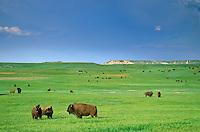 Bison herd on green prairie on the 777 Ranch, near Fairburn, South Dakota, AGPix_0387.
