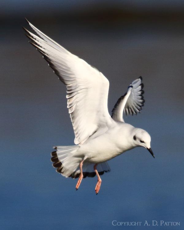 First-winter Bonaparte's gull