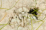 Stomatopod or Mantis shrimp (Gonodactylus sp.) well camouflaged in the sand.