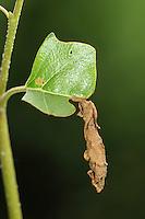 caused by weevil<br /> Deporaus betulae