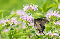 03023-03219 Eastern Tiger Swallowtail (Papilio glaucus) female black form on Wild Bergamot (Monarda fistulosa) Marion Co. IL