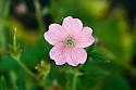 Geranium x oxonianum 'Wargrave Pink', end June.