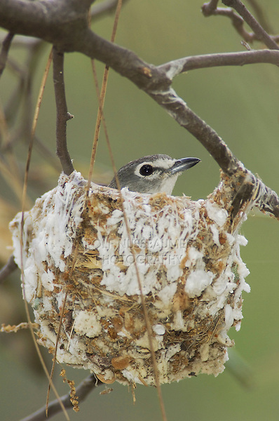 Plumbeous Vireo, Vireo plumbeus, adult on nest, Madera Canyon, Arizona, USA